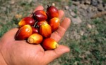 palm-oil-fruit_1815952c