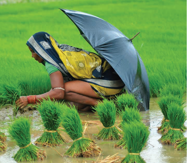 A woman farmer tends works in a paddy field in the Eastern Indian state of Orissa