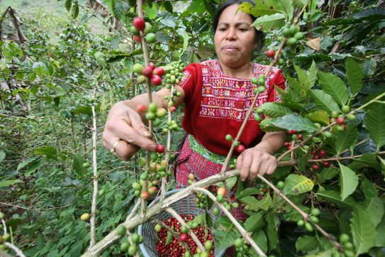 A woman picks coffee on a farm associated with the Maya Ixil coop, a Fairtrade-certified coffee cooperative in Guatemala. Maya Ixil has been a Root Capital client since 2005. Photo by Sean Hawkey.
