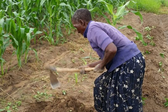 Without access to productive inputs, a woman will spend more time planting, weeding and harvesting to increase her output. (Ann Steensland/GHI)