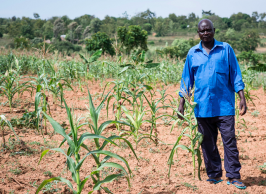 Moses Odoli stands among his drought-affected maize crops in Western Kenya. Image credit: One Acre Fund